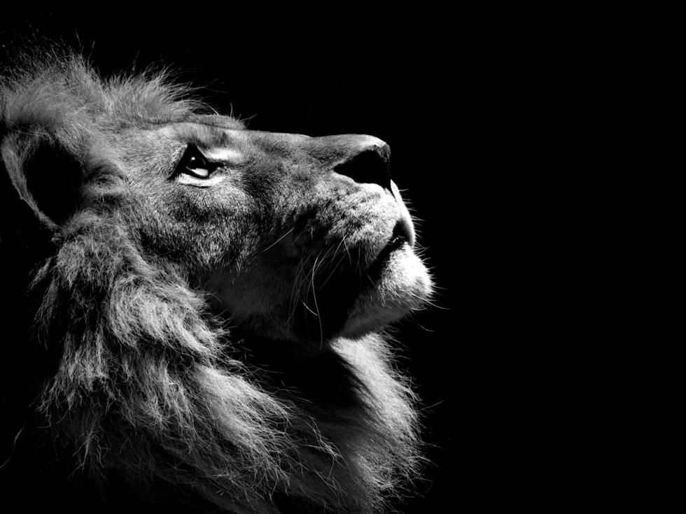 powerful_lion