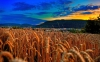 wheat-field-evening